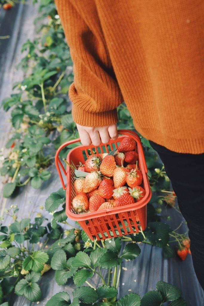Erdbeeren schmecken auch Babies am besten direkt vom Feld.